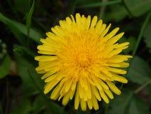 Le pissenlit est une soleil-herbe image libre de droits
