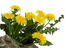 Le pissenlit fleurit le buisson Photographie stock