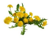 Le pissenlit fleurit le buisson d'isolement Photos stock