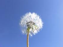 Le pissenlit injecte le fond de ciel bleu -- Souhaits Photos libres de droits