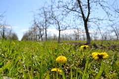 Le pissenlit jaune fleurit au printemps le jardin Images stock