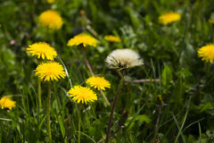 Le pissenlit, officinale botanique de taraxacum de nom, est une mauvaise herbe éternelle Images stock