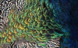 Le piume del pavone Fotografia Stock