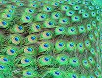 Le piume del pavone Fotografie Stock