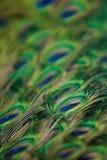 Le piume del pavone fotografia stock libera da diritti