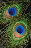 Le piume del pavone si chiudono in su Fotografie Stock
