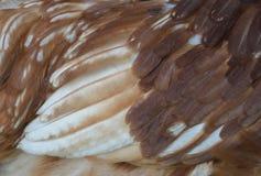 Le piume del pollo di marrone di AIZ su si chiudono Immagini Stock Libere da Diritti