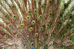Le piume di diffusione del pavone Immagini Stock Libere da Diritti