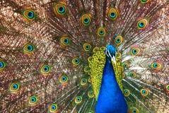 Le piume di diffusione del peafowl Immagini Stock