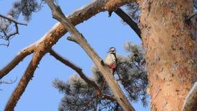 Le pivert extrait la nourriture sur une branche d'arbre banque de vidéos