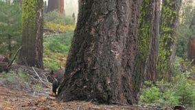 Le pivert frappe sur un tronc d'arbre dans la forêt, le parc national de séquoia, 4k banque de vidéos
