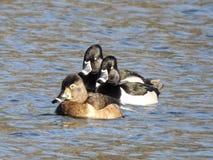 Le plan à trois des canards étranglés d'anneau s'est blotti ensemble pataugeant dans un étang Images stock