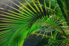 Le plan rapproché étonnant a détaillé la vue d'une palmette verte naturelle, allumée par des rayons du soleil dans le jardin trop photographie stock libre de droits