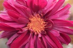 le plan rapproché colore le jaune rouge de fleur Images libres de droits