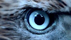 Le plan rapproché d'oeil d'Eagle, le macro, oeil de jeunes gentilis d'Accipiter d'autour a modifié la tonalité clips vidéos
