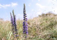 Le plan rapproché d'un beau Veronica de pourpre fleurit dans un pré d'automne Fleurs dans l'herbe Le plus grand genre dans la flo photographie stock