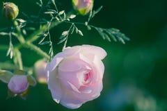 Le plan rapproché d'un canina rose sauvage de Rosa de rose de chien avec le vert part sur un fond trouble Photographie stock libre de droits