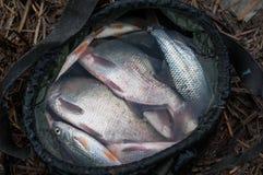Le plan rapproché d'un filet de pêche a juste pêché le poisson frais, brochet, perche, brème, vue supérieure, un bon crochet, pêc Photo libre de droits