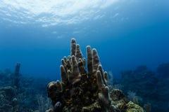 Le plan rapproché d'un groupe grand de tube de tuyau de fourneau éponge l'élevage droit sur le récif coralien outre de la côte du Photos stock