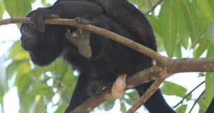 Le plan rapproché d'un mâle a enveloppé le singe d'hurleur, le palliata 4K d'Alouatta clips vidéos