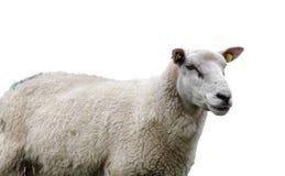 Le plan rapproché d'un mouton se dirigent sur le fond blanc Photo stock