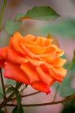 Le plan rapproché d'un orange s'est levé. Photo libre de droits