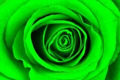 Le plan rapproché d'un vert clair s'est levé Photographie stock