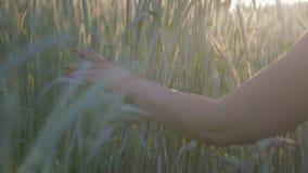 Le plan rapproché d'une main du ` s de femme dans un domaine avec des usines de céréale touche les oreilles du blé banque de vidéos