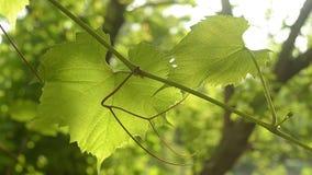 Le plan rapproché dans le mouvement lent des feuilles de raisins balance dans le vent au soleil clips vidéos