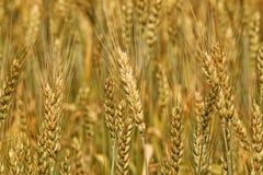 Le plan rapproché de champ de blé d'orge image libre de droits