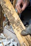 Le plan rapproché de homme la main montrant des dommages de termite Photographie stock