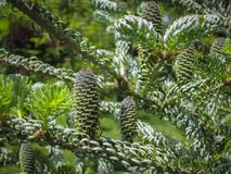Le plan rapproché de jeunes cônes sur les branches du sapin Abies le koreana Silberlocke avec le beau fond de bokeh photo libre de droits