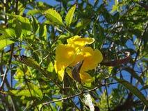Le plan rapproché de l'aîné jaune, des cloches jaunes, ou de la vigne de trompette fleurit Photo libre de droits