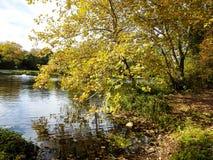 Le plan rapproché de l'arbre complètement du jaune part près de l'étang Images libres de droits