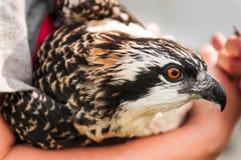 Le plan rapproché de l'Osprey s'est retenu dans des bras du naturaliste image libre de droits