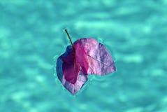Le plan rapproché de la bouganvillée fleurit le flottement dans une piscine Photo libre de droits