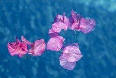 Le plan rapproché de la bouganvillée fleurit le flottement dans une piscine Image libre de droits