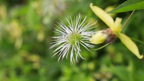 Le plan rapproché de la clématite fleurissent sur le buisson dans le jardin banque de vidéos