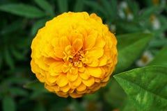 Le plan rapproché de la floraison fleurit le Zinnia dans l'élevage de feuilles Photographie stock libre de droits