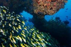 Le plan rapproché de la grande école des grognements rayés jaunes nagent sur le récif coralien Photo libre de droits