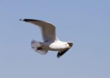 Le plan rapproché de la mouette de vol Image libre de droits