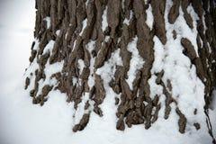 Le plan rapproché de la neige a couvert le tronc ou la base du grand chêne Photo libre de droits