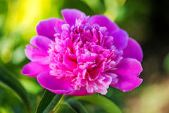 Le plan rapproché de la pivoine rose fleurit au-dessus des feuilles vertes Photographie stock libre de droits
