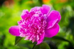 Le plan rapproché de la pivoine rose fleurit au-dessus des feuilles vertes Photo stock