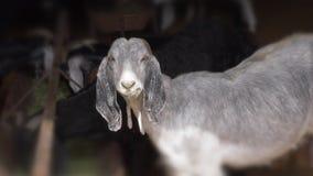 Le plan rapproché de museau de chèvre regarde dans l'appareil-photo La RAM mâche la nourriture clips vidéos