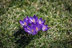 Le plan rapproché de peu de crocus de pourpre fleurit la floraison en premier ressort Photo libre de droits