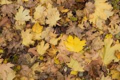 Le plan rapproché de photo de la couverture épaisse d'or jaune colorée d'automne de l'érable sec tombé part la période à feuilles Photographie stock libre de droits