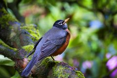 Le plan rapproché de Robin était perché sur une branche d'arbre photographie stock libre de droits