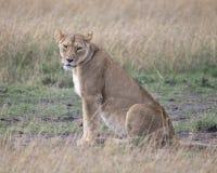 Le plan rapproché de Sideview de la lionne se reposant sur la terre avec la tête a tourné vers l'appareil-photo Image stock