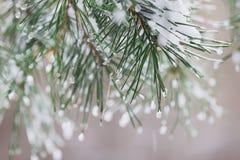 Le plan rapproché des aiguilles de pin avec de la glace se laisse tomber, bokeh de natur Branches de sapin Pour l'hiver, ressort, Image libre de droits